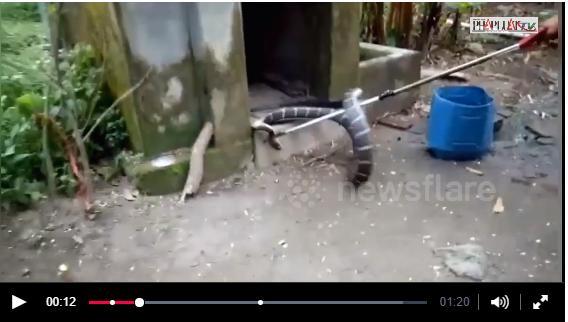 """Đứng hình toàn tập khi phát hiện rắn hổ mang 4,5m """"nằm gọn"""" trong nhà vệ sinh"""