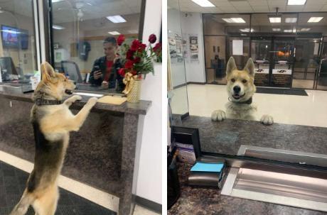 Nửa đêm, chú chó tự vào sở cảnh sát để báo án về vụ mất tích của…chính mình